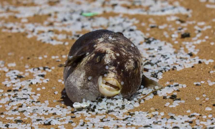 Un pesce palla morto sdraiato sulla spiaggia in palline di plastica